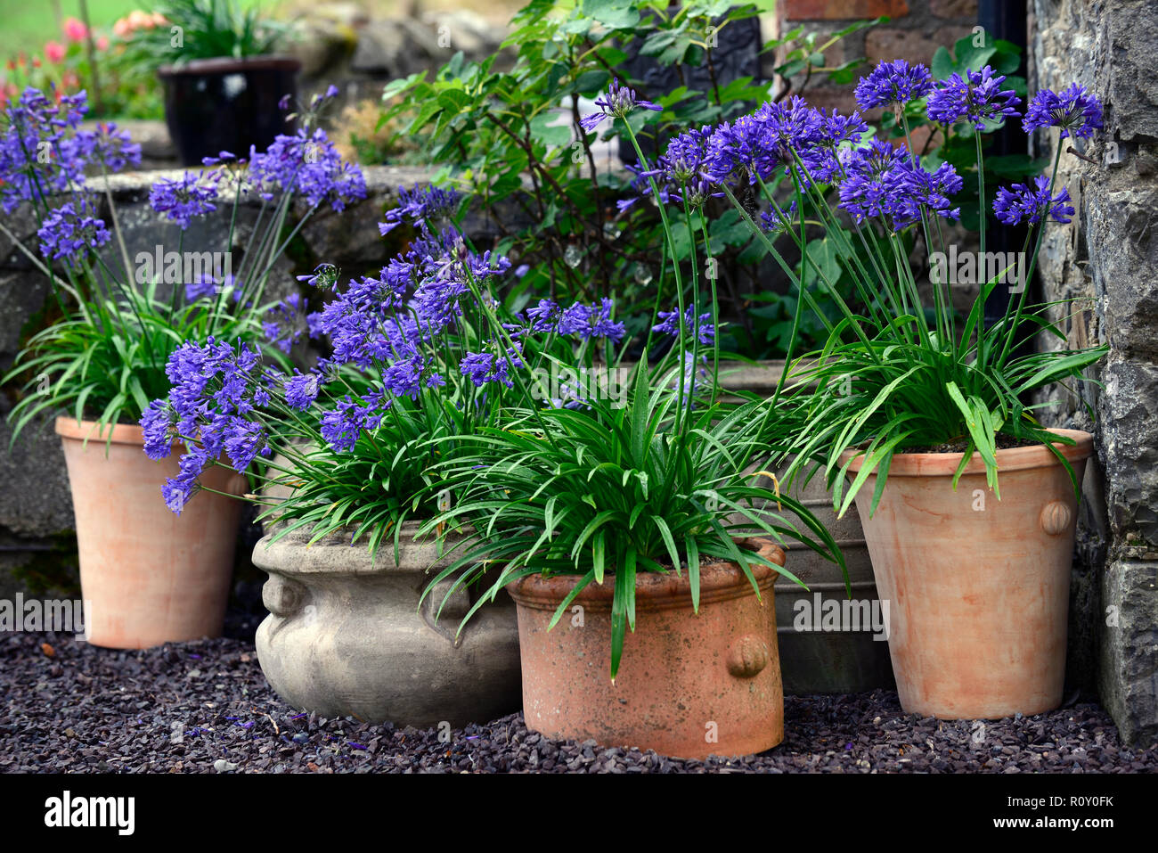 terracotta pots,containers,plant display,patio,agapanthus navy blue,pots,garden,RM Floral - Stock Image