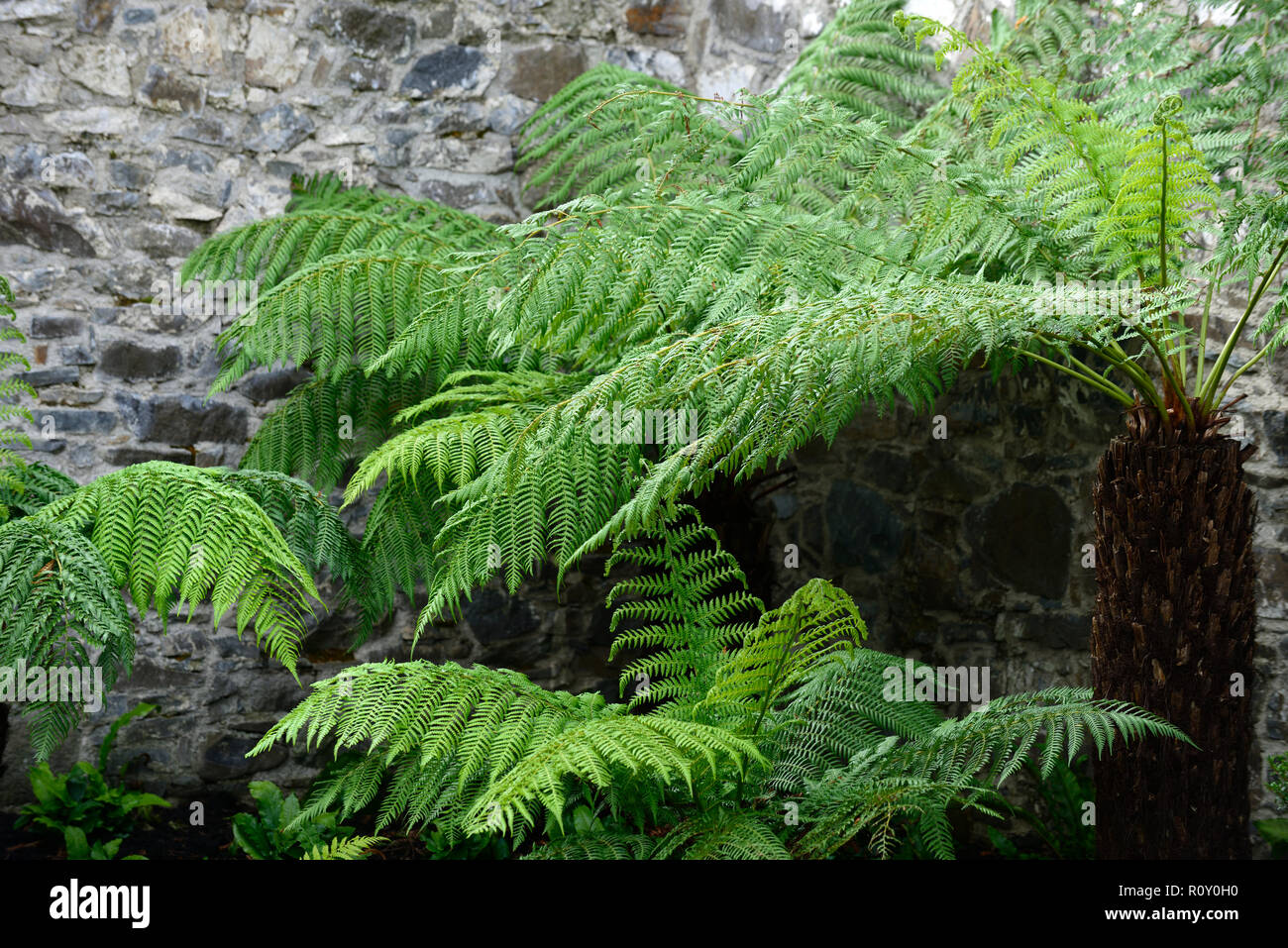 Dicksonia Antartica,Tree Fern,patio,shaded,shady,shade,area,fernery,tree ferns,feature,planting scheme,garden,gardens,RM Floral - Stock Image