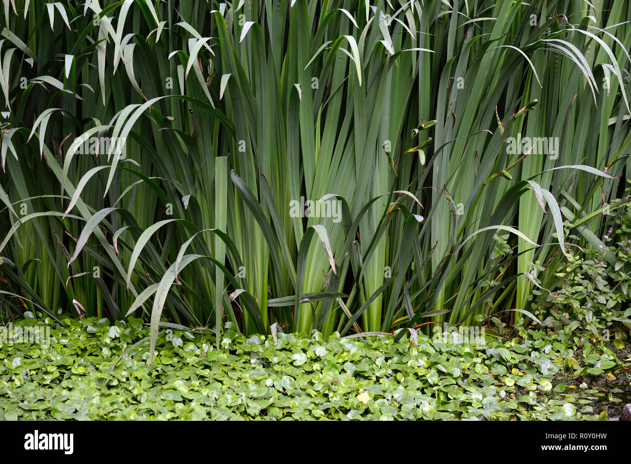 flag iris,stem,stems,dense,invasive,plant,plants,pond,ponds,water feature,gardens,RM Floral - Stock Image
