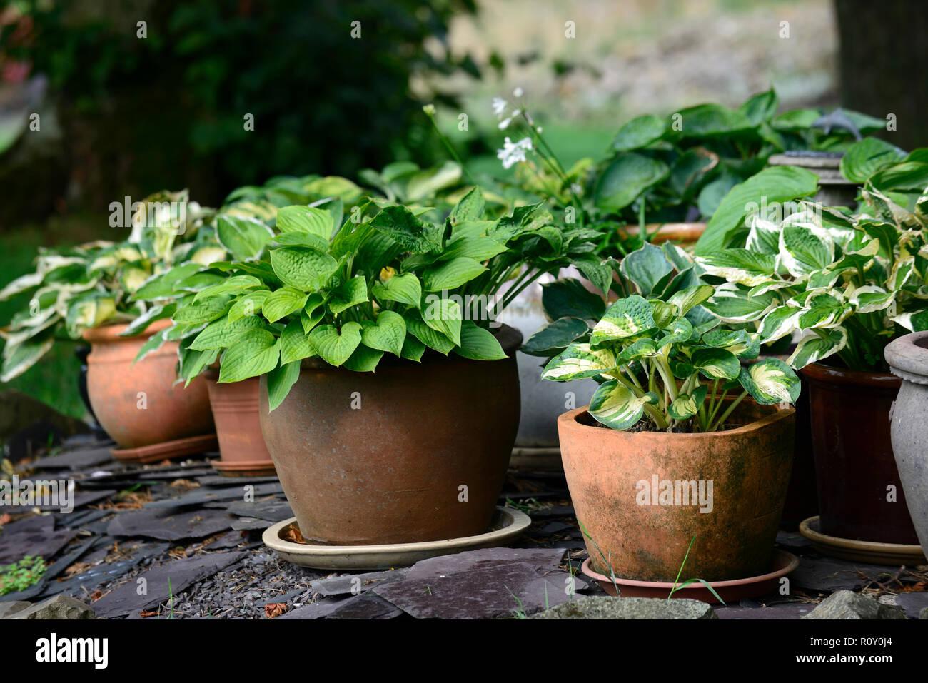Hosta Pots Stock Photos Hosta Pots Stock Images Alamy