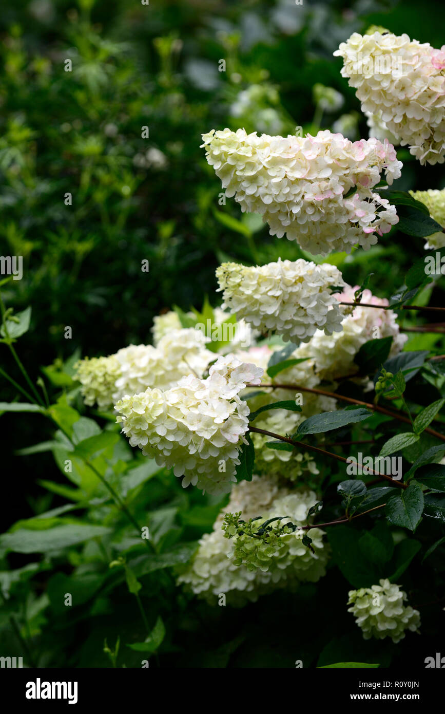 hydrangea paniculata pinky winky,hydrangeas,white,pink,flower,flowers,flowering,panicle,panicles,RM Floral - Stock Image