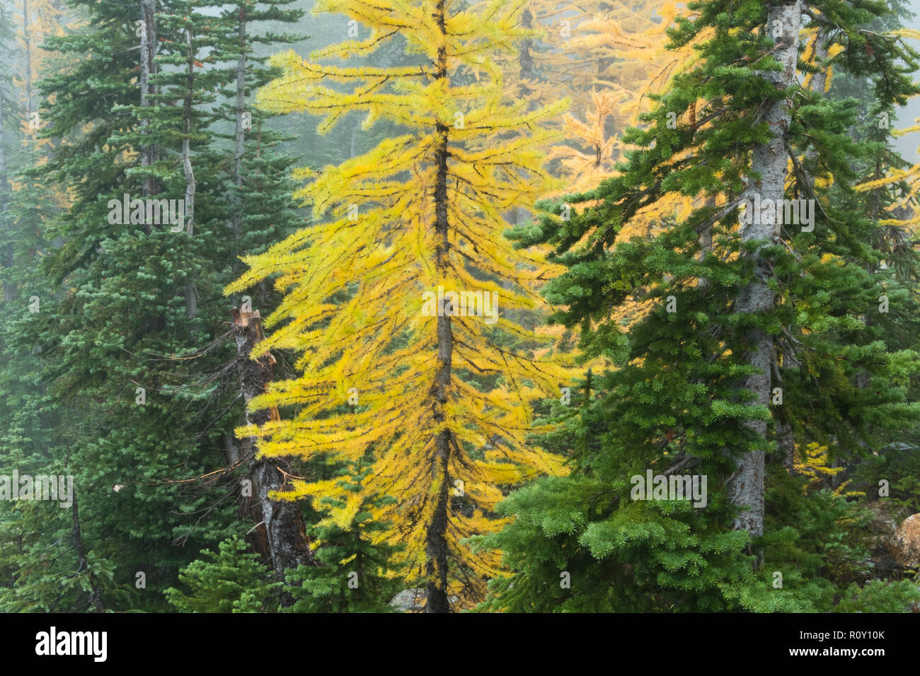 Alpine Larch (Larix lyalli) Conifer needles turn gold in autumn - Stock Image