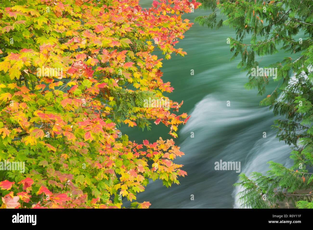 Vine Maple Tree Acer Circinatum In Fall Skagit River Behind Stock