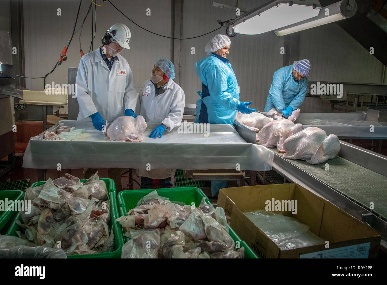 Thanksgiving turkeys are processed and graded by USDA inspectors at Plainville Farms Turkey Processing plant October 31, 2018 in New Oxford, Pennsylvania. - Stock Image