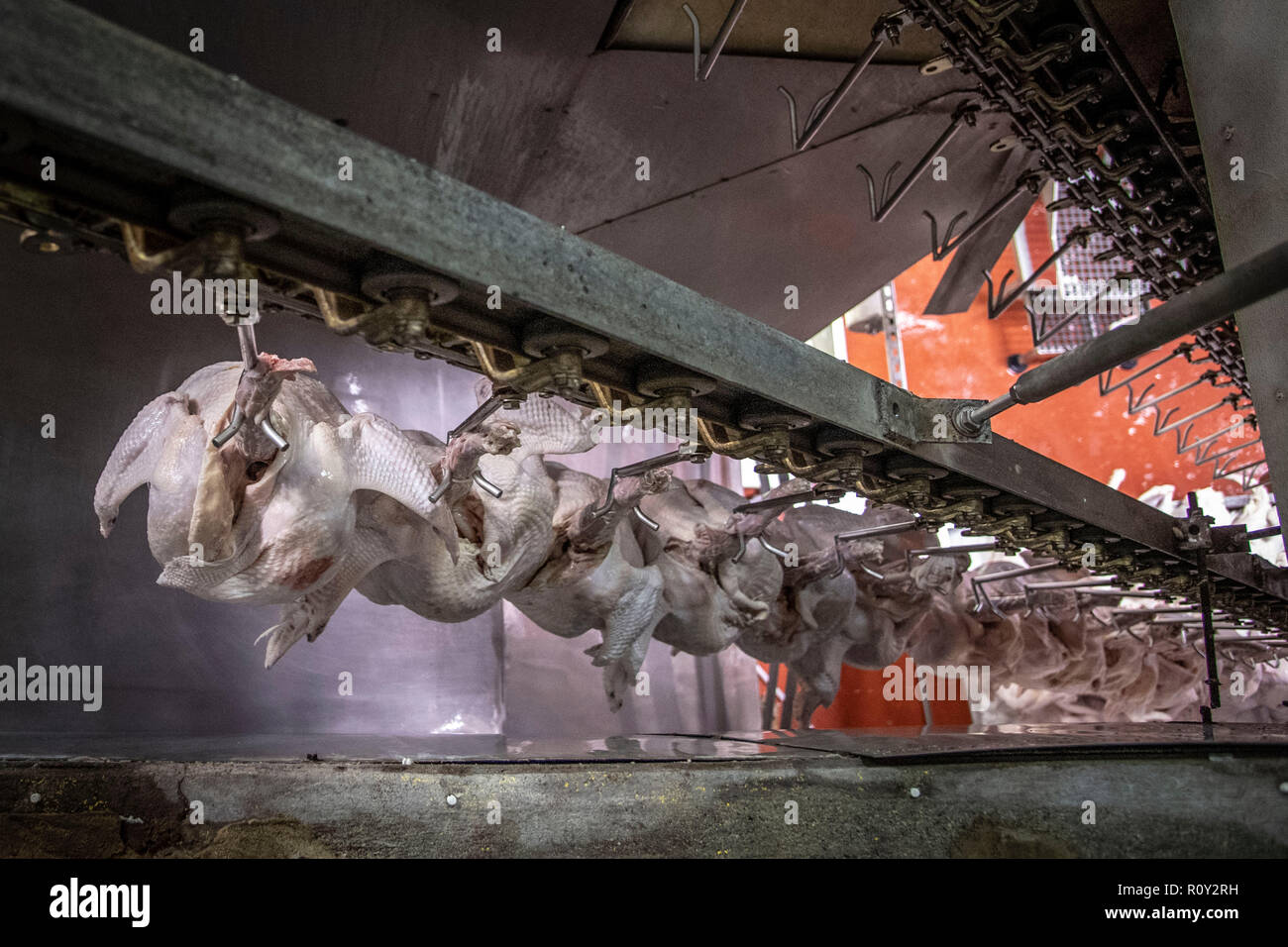 Thanksgiving turkeys hang from hooks as they are processed and graded by USDA inspectors at Plainville Farms Turkey Processing plant October 31, 2018 in New Oxford, Pennsylvania. - Stock Image