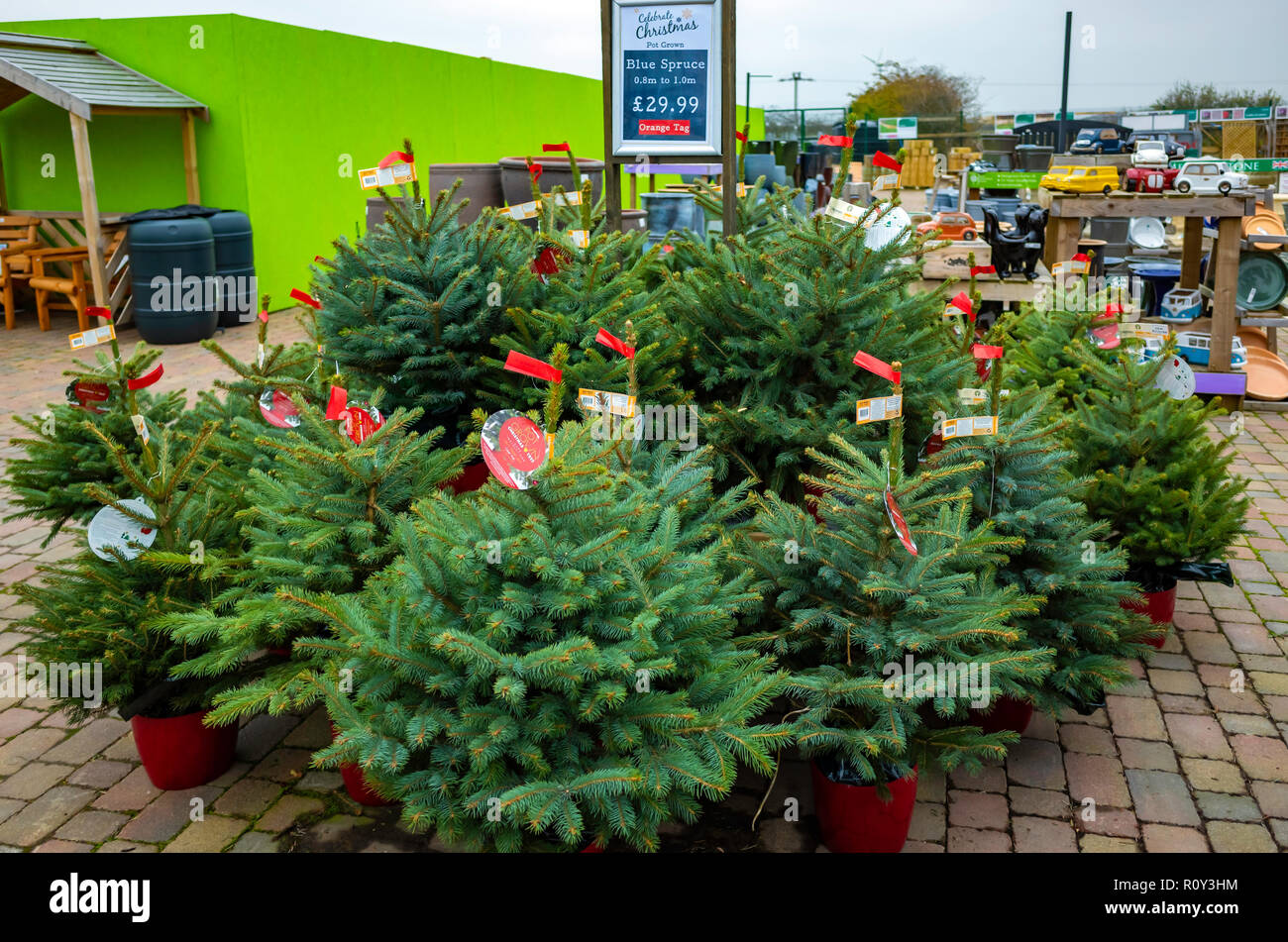 Picea Pungens Stock Photos & Picea Pungens Stock Images