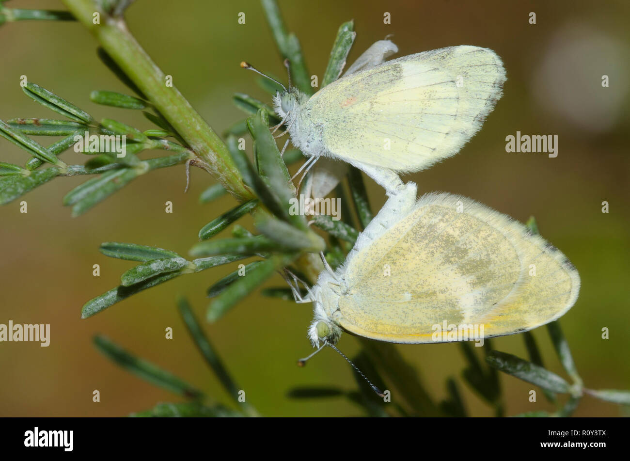 Dainty Sulphurs, Nathalis iole, mated pair with the male at the top and the female's pupal case just behind - Stock Image