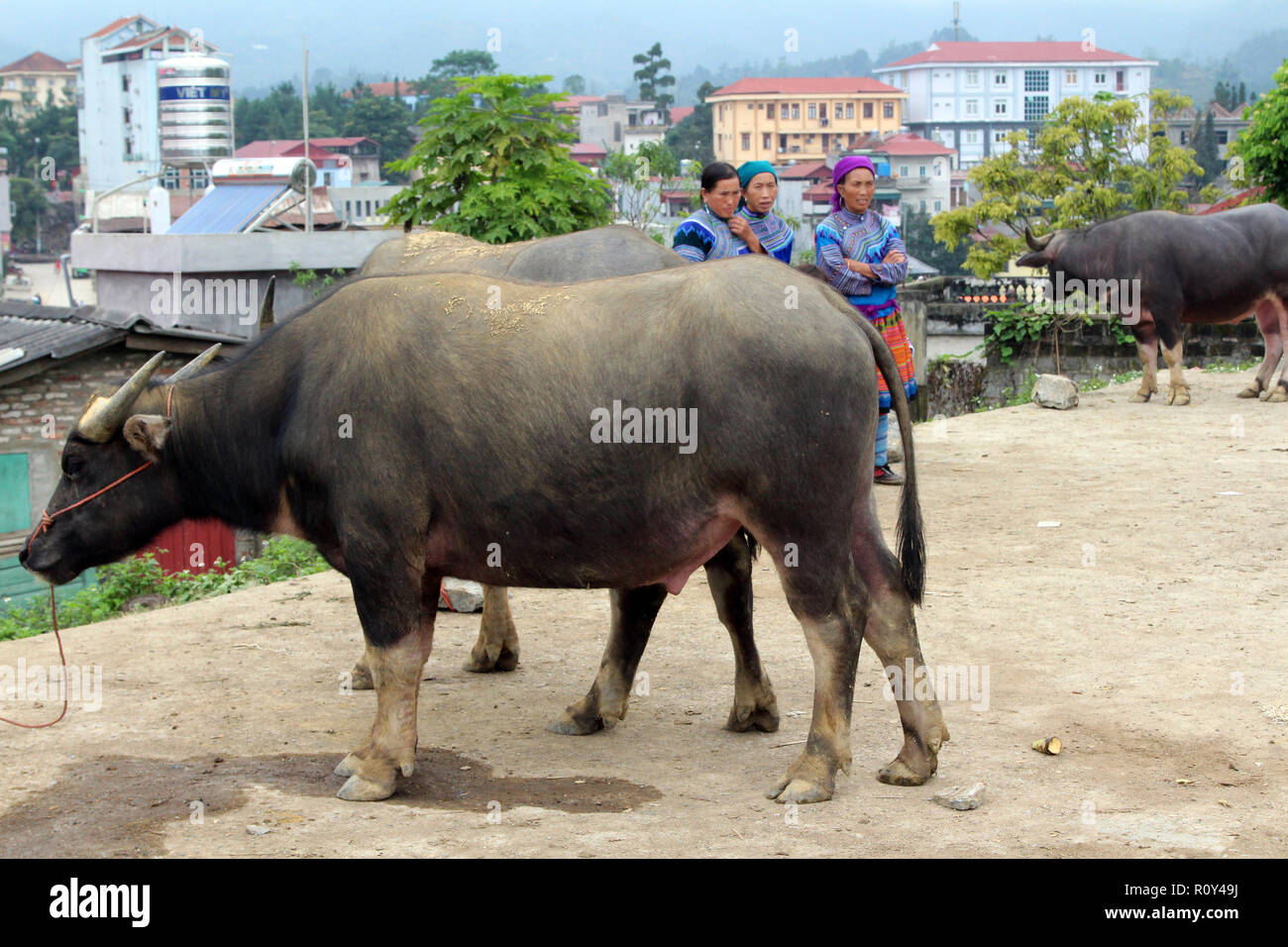 Buffalo For Sale >> Water Buffalo For Sale At The Bac Ha Sunday Market In