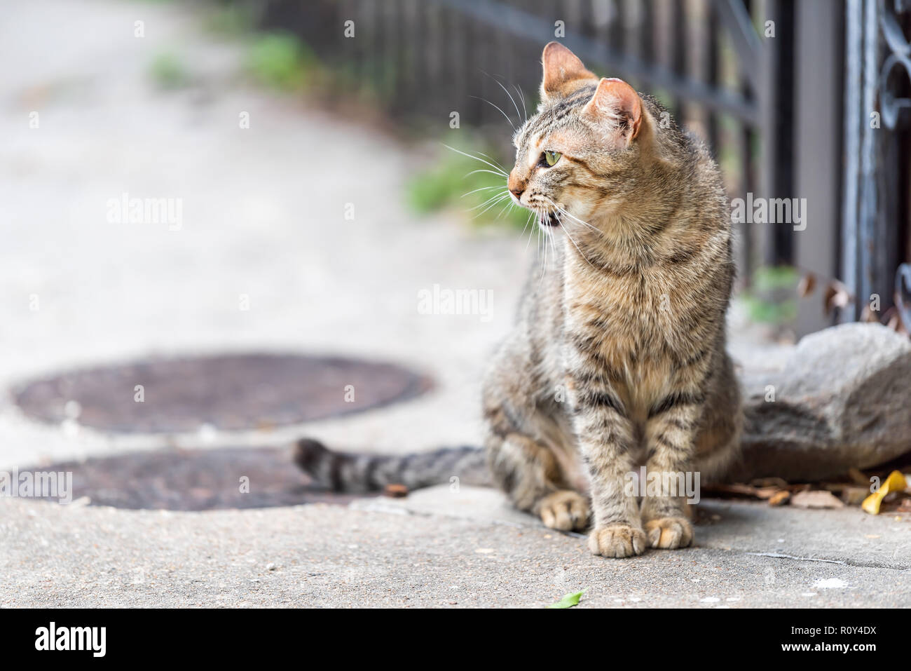 Stray tabby cat with green eyes sitting meowing, opened, opening mouth on sidewalk streets in New Orleans, Louisiana by fence - Stock Image