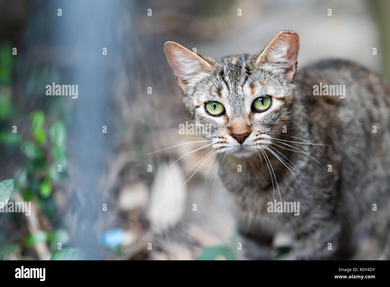 Stray tabby cat with shiny green eyes closeup on sidewalk streets in New Orleans, Louisiana hungry - Stock Image