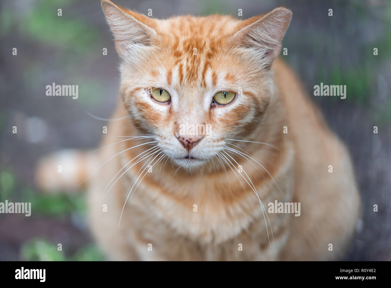 Stray tabby orange ginger cat with sad yellow green eyes closeup on sidewalk streets in New Orleans, Louisiana hungry - Stock Image