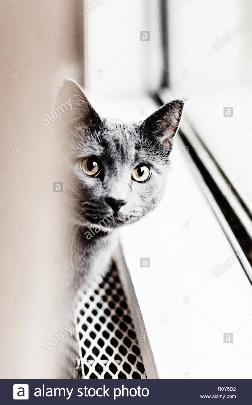 Grey cat sitting by a window, eye contact - Stock Image