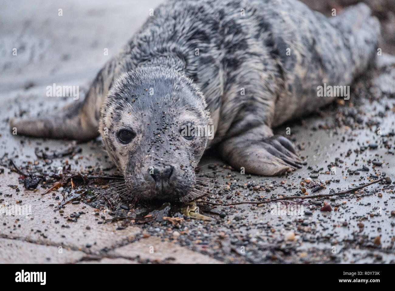 Aberystwyth Wales UK, November 7th 2018 A young Atlantic seal pup has been washed up by the storms onto the beach at Aberystwyth on the Cardigan Bay coast of west wales. Crowds of concerned onlookers soon gathered to take photographs and to try to prevent it from crawling over the promenade and into the paths of passing vehicles. As darkness feel the pup, which is apparently fully weaned and able to feed itself, was hunkered down on the beach as the tide came in. Experts from the British Divers Marine Life Rescue (BDMLR) team then rescued the pup. Photo credit: Keith Morris / Alamy Live News - Stock Image
