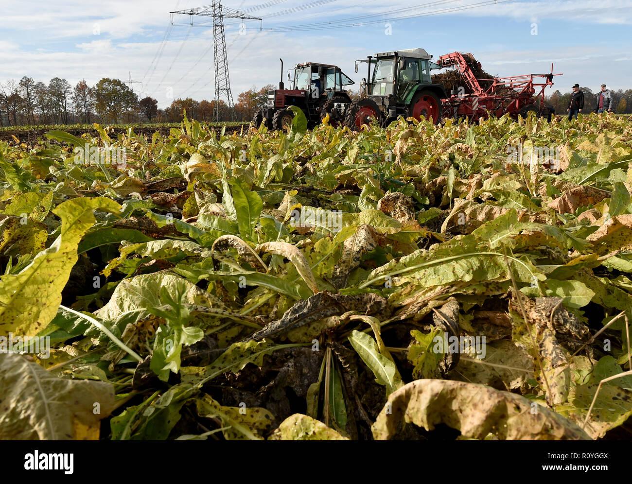 08 November 2018, Brandenburg, Lübbenau: The harvesting season for Spreewald horseradish starts on the fields of the 'Spreewald' vegetable farm. Due to the dry summer, harvest losses of up to 25 percent are expected. Photo: Bernd Settnik/dpa-Zentralbild/dpa - Stock Image