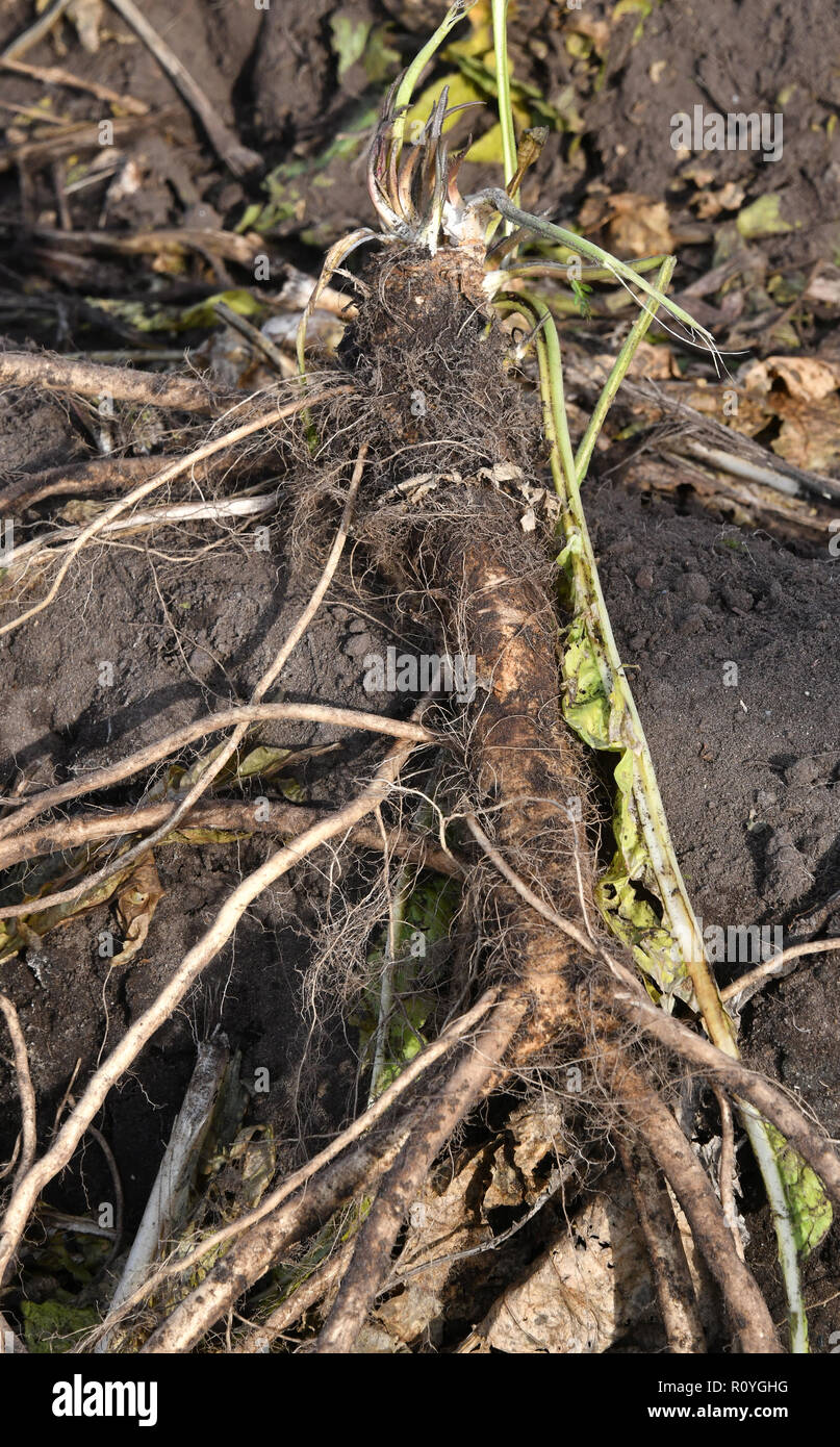 08 November 2018, Brandenburg, Lübbenau: A freshly harvested horseradish lies on the field of the vegetable farm 'Spreewald' at the start of the harvest. Due to the dry summer, harvest losses of up to 25 percent are expected. Photo: Bernd Settnik/dpa-Zentralbild/dpa - Stock Image