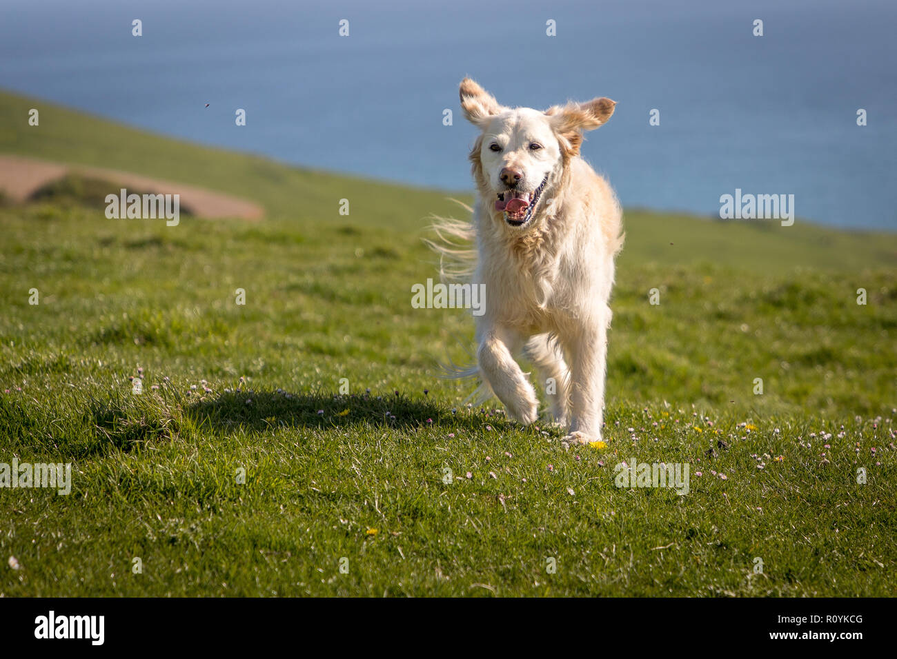 Happy golden retriever dog running with floppy ears on hill - Stock Image