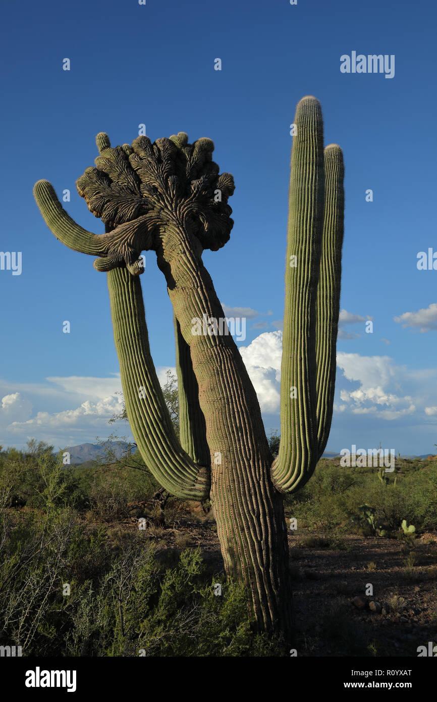 saguaro, Carnegia gigantea, crested form,cristate, Sonoran desert, Arizona - Stock Image