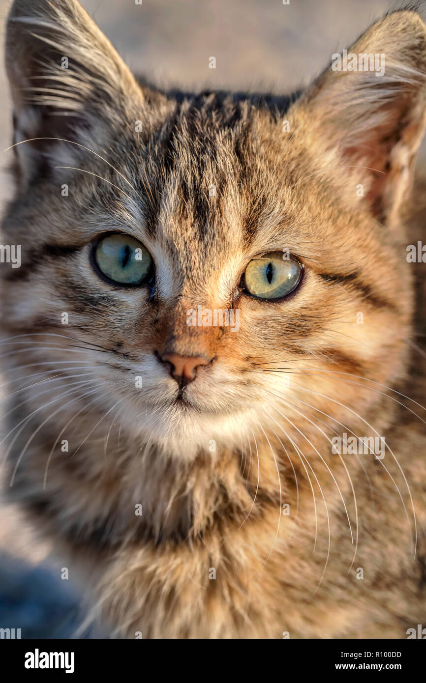 Portrait of a cute small cat with green eyes. Close up - Stock Image