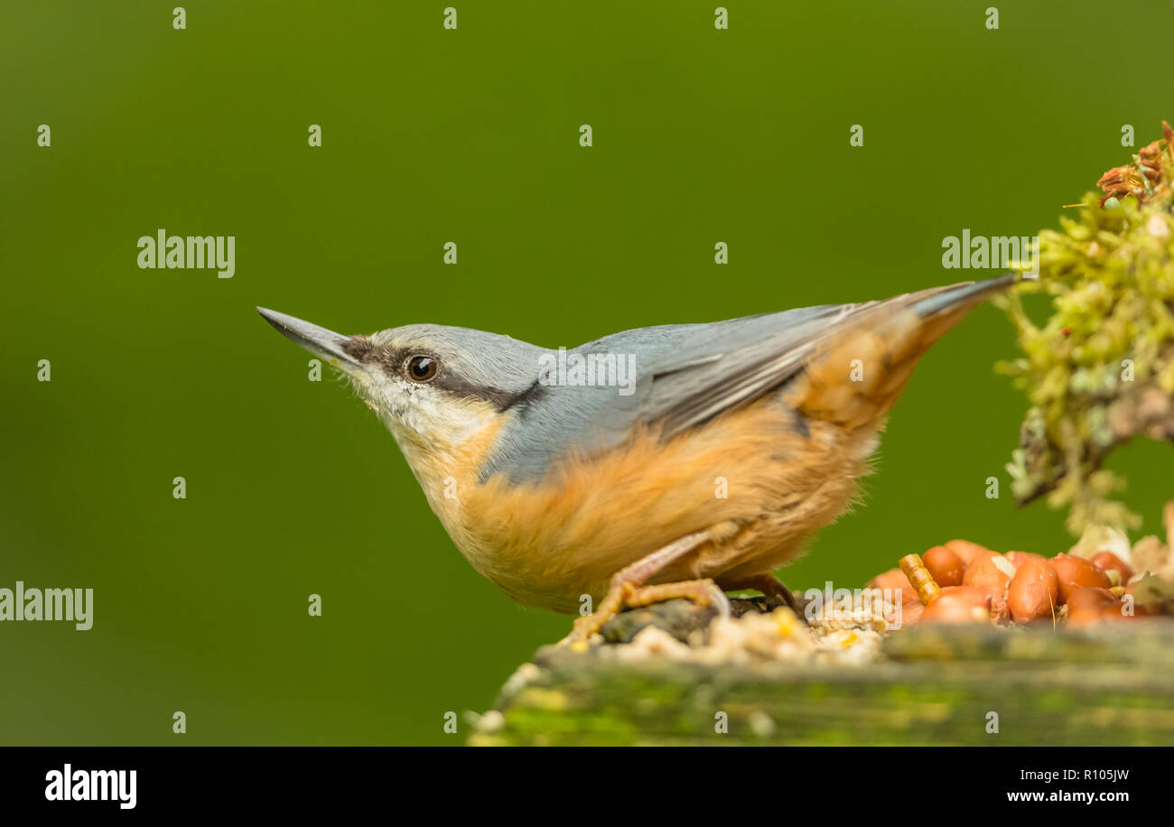 Nuthatch in natural woodland habitat, facing to the left with peanut in beak. Small, colourful bird. Dark, blurred background.  Scientific name: Sitta - Stock Image