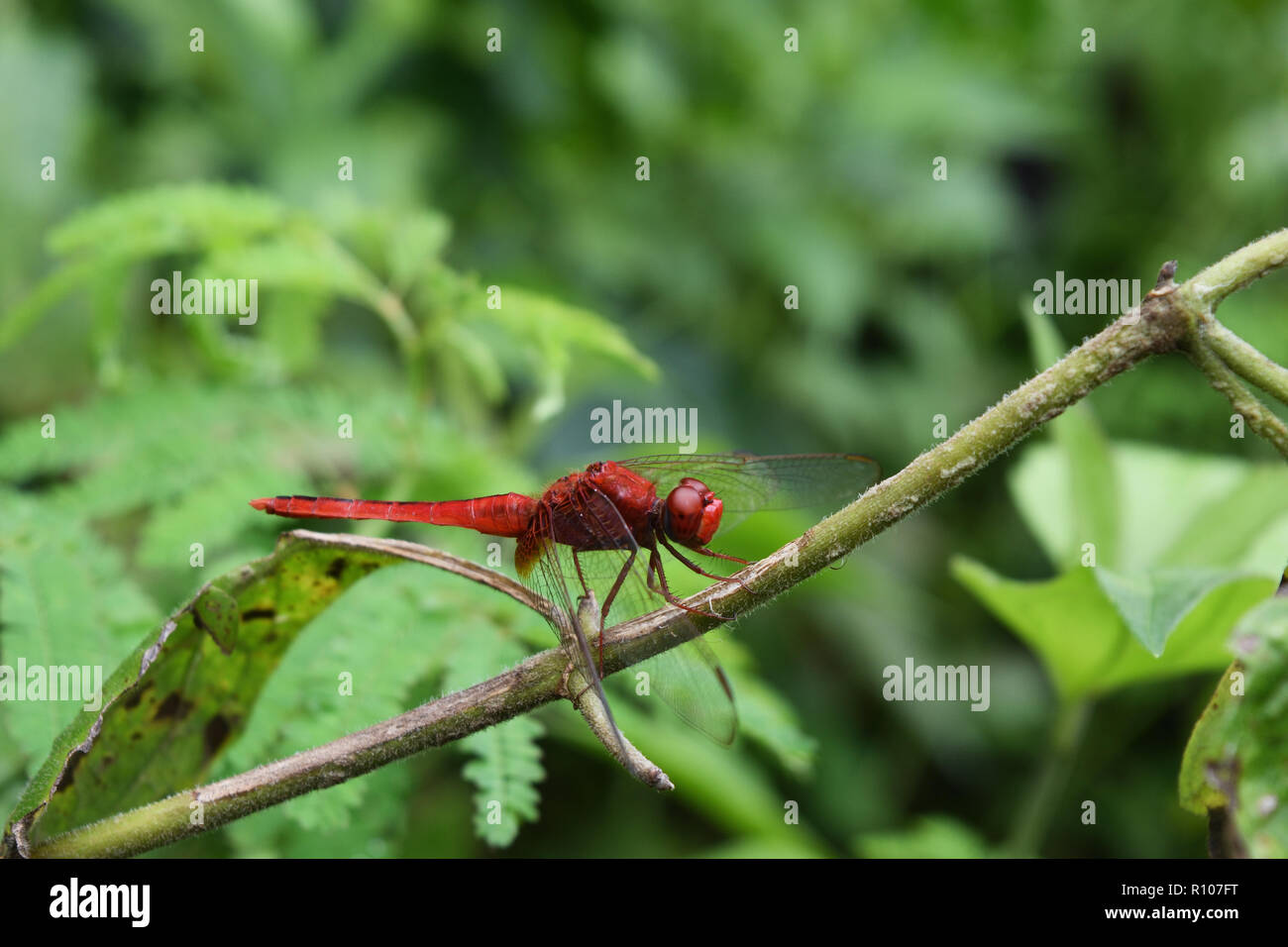 Scarlet skimmer or Crimson darter , Red Dragonfly on a branch with natural green background Stock Photo