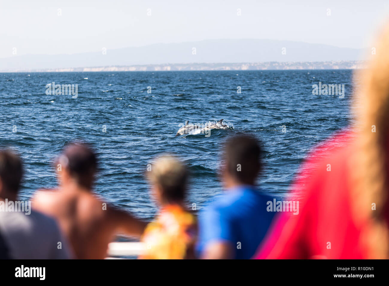 Albufeira, Portugal - Juny, 2018: Common bottlenose dolphin swimming near dolphin watching experience boat by the coast of Albufeira. - Stock Image