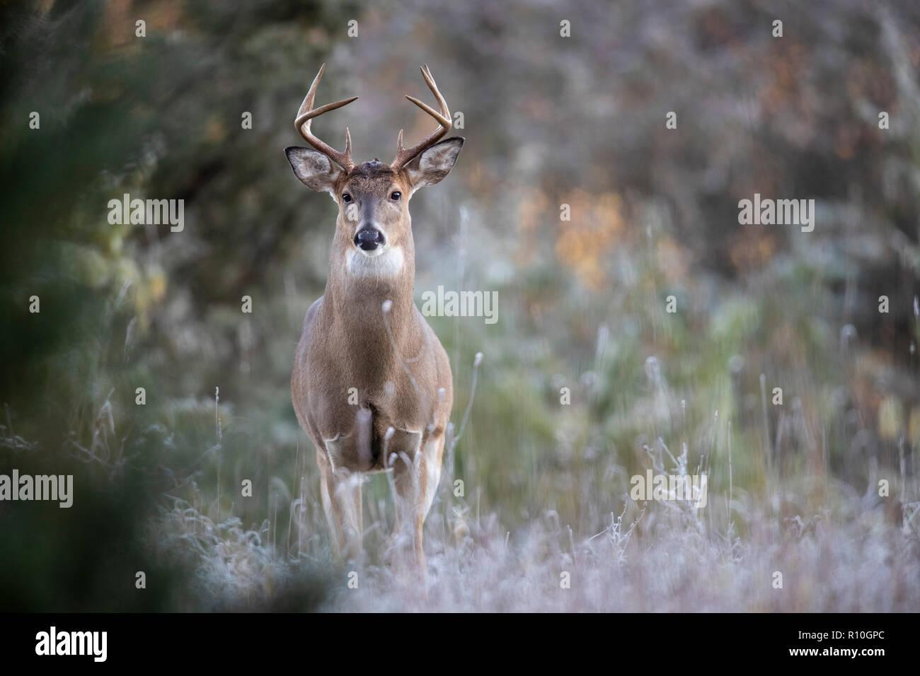 A curious buck whitetail deer looking alert. - Stock Image