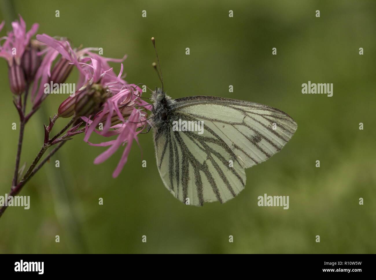 Green-veined White, Pieris napi, spring generation, feeding on Ragged Robin. - Stock Image