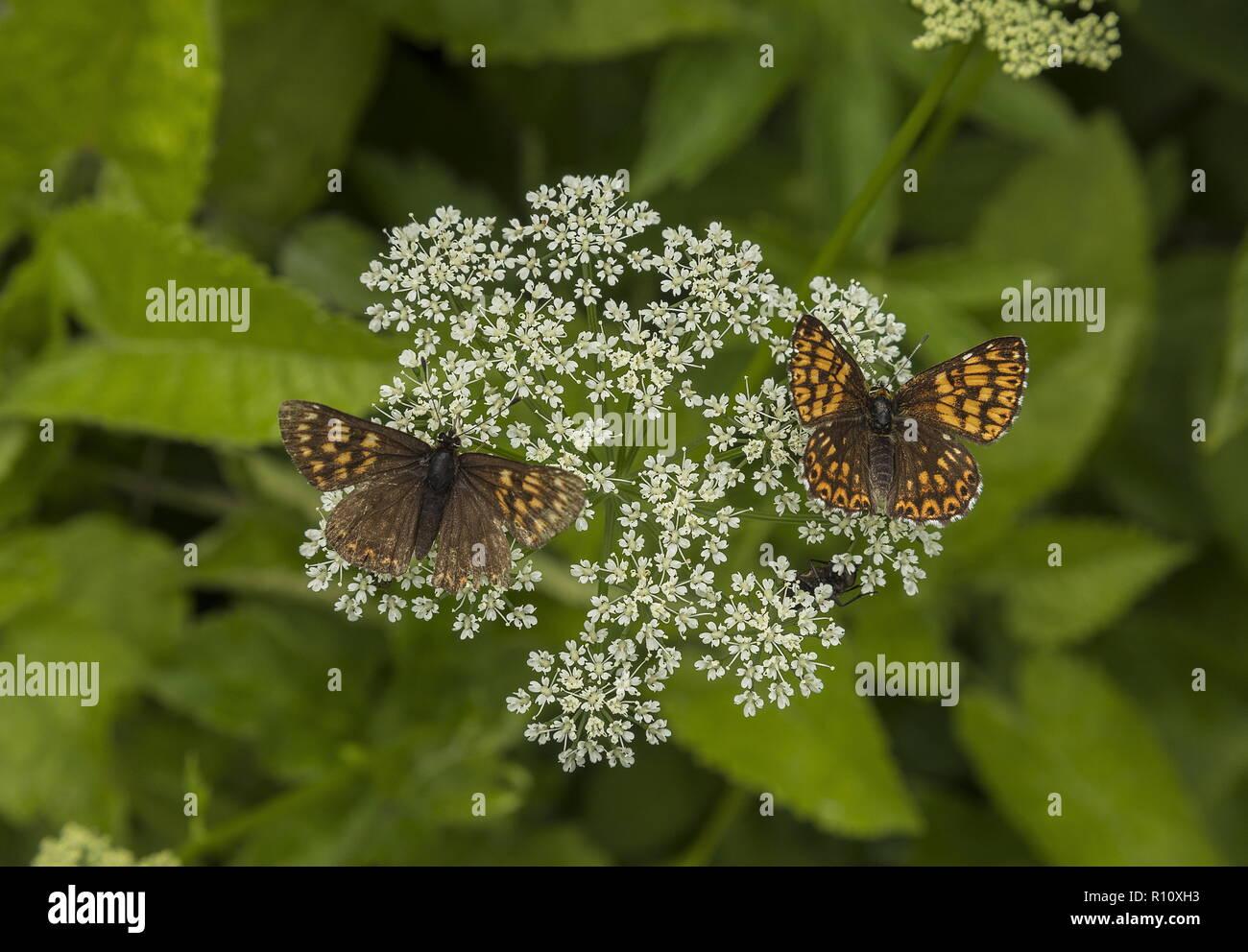 Duke of Burgundy, Hamearis lucina, two butterflies nectaring on Ground Elder flowers. - Stock Image