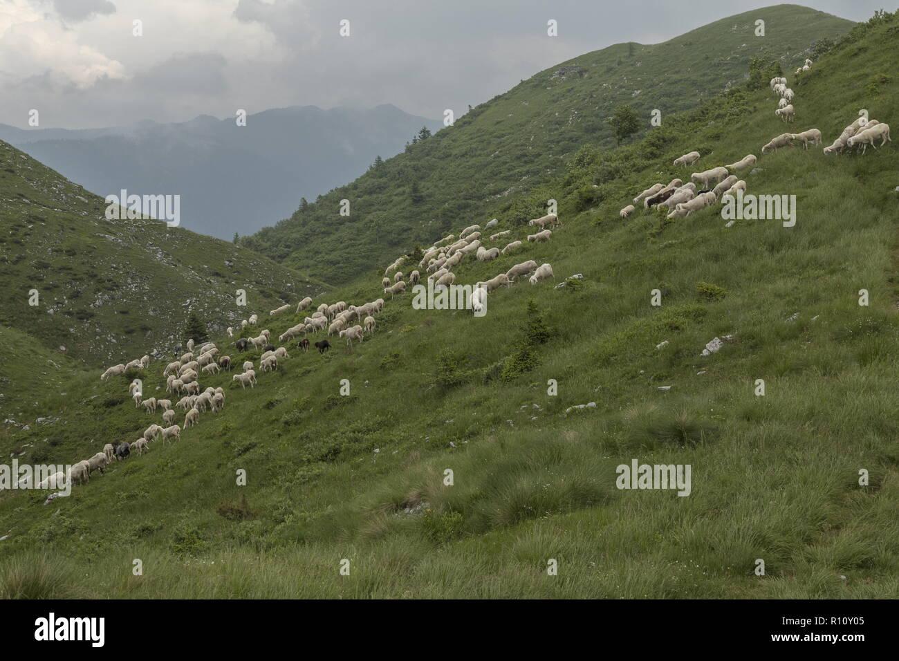 Grazing flock of sheep on limestone grassland  with swallow-holes on the ridge above Soriska Planina, Julian Alps, Slovenia. Stock Photo
