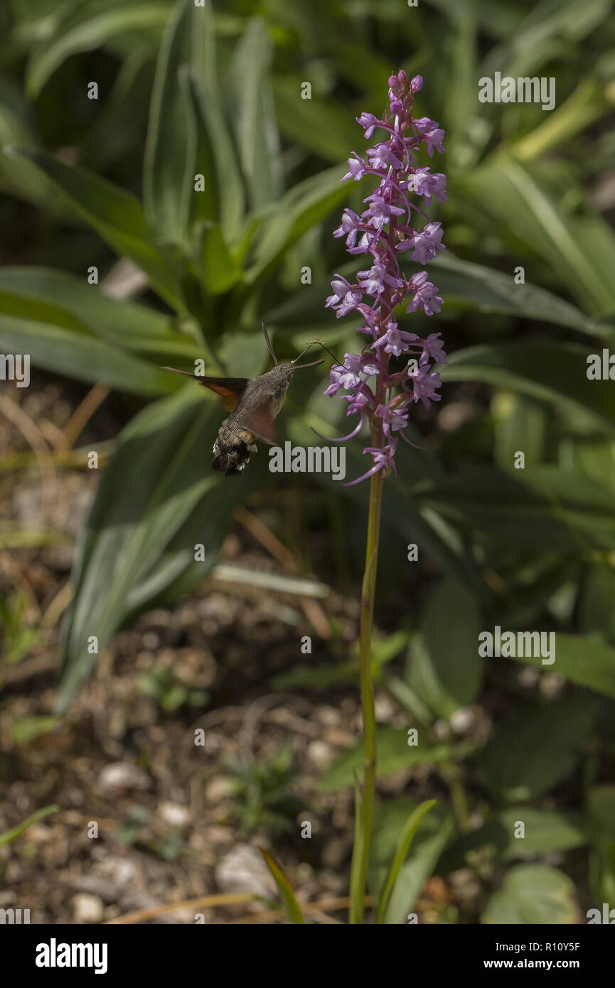 Humming-bird Hawk-moth visiting Fragrant Orchid, with pollinia on proboscis. - Stock Image