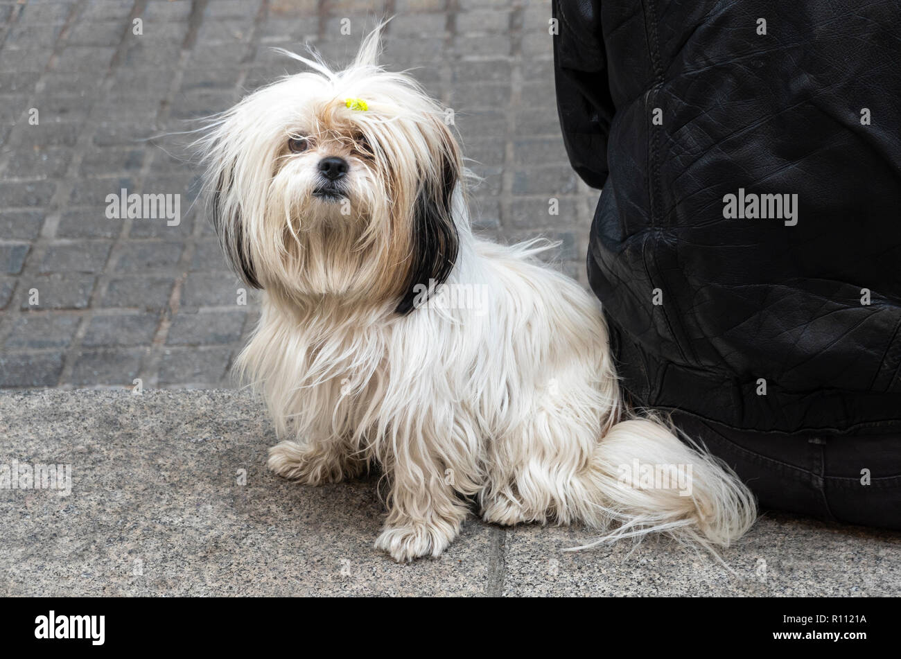 Shih Tzu A Toy Breed Dog From China Stock Photo 224372998 Alamy