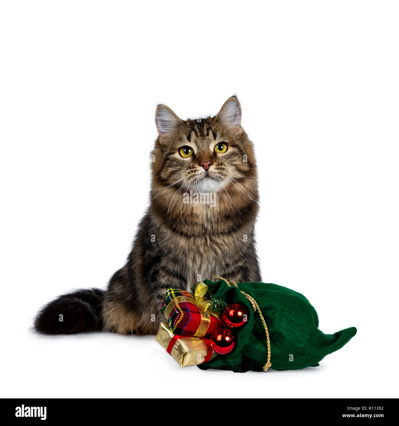 Cute black tabby Siberian cat kitten sitting upbehind a green christmas bag filled with presents and red balls, looking up with bright yellow eyes. Is - Stock Image