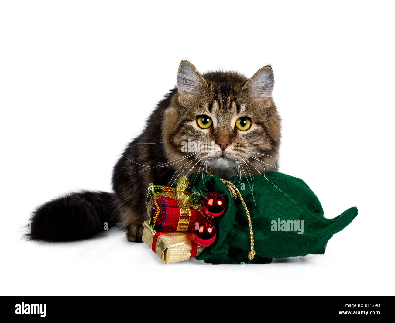 Cute black tabby Siberian cat kitten laying behind a green christmas bag filled with presents and red balls, looking very focussed with bright yellow - Stock Image