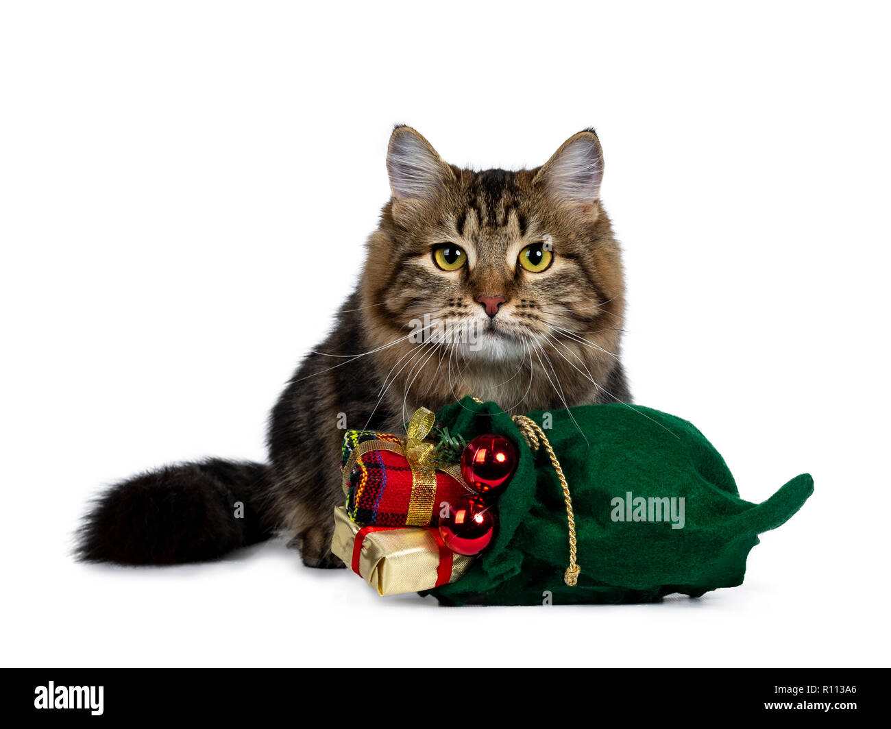 Cute black tabby Siberian cat kitten sitting behind a green christmas bag filled with presents and red balls, looking straight in camera with bright y Stock Photo