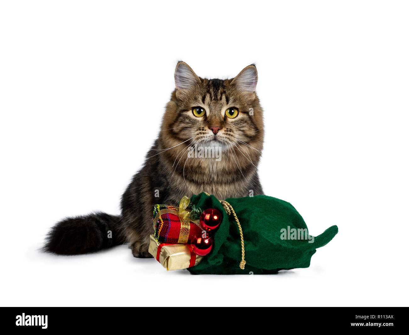 Cute black tabby Siberian cat kitten sitting up behind a green christmas bag filled with presents and red balls, looking straight ahead with bright ye Stock Photo