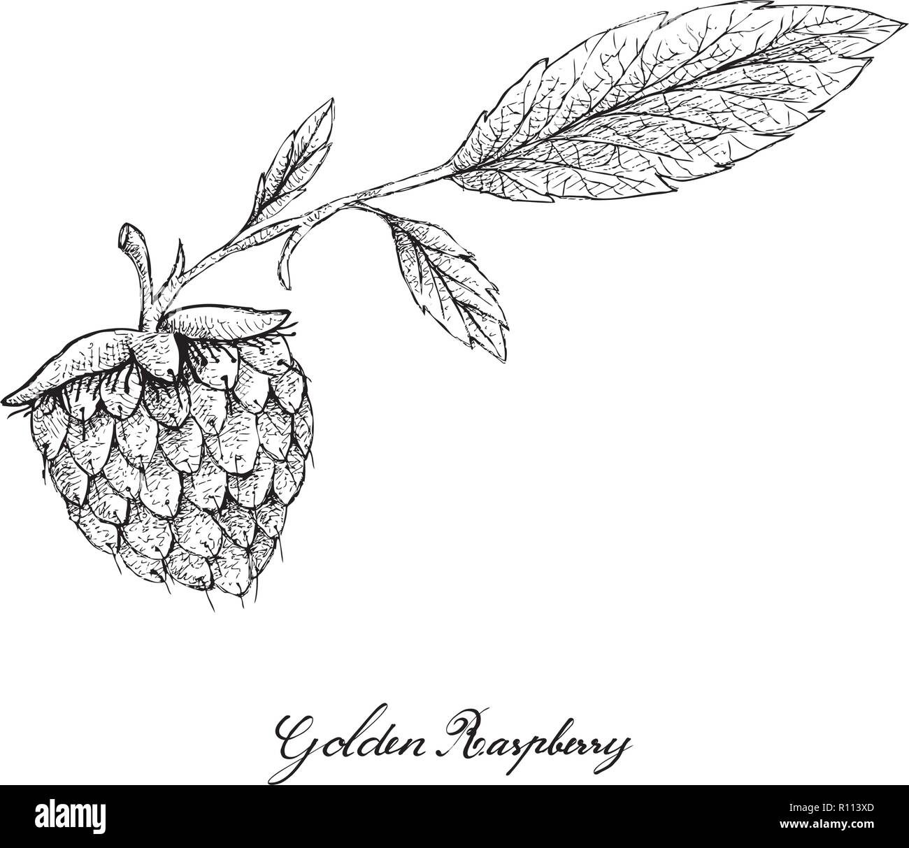 Berry Fruits, Illustration of Hand Drawn Sketch Delicious Fresh Golden Raspberries or Rubus Ellipticus Fruits Isolated on White Background. - Stock Vector