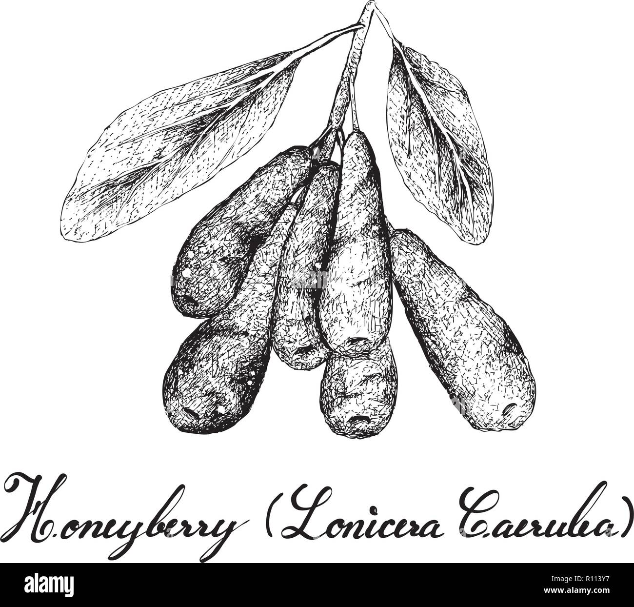 Tropical Fruit, Illustration of Hand Drawn Sketch Honeyberry, Haskap Berry or Lonicera CaeruleaFruits Isolated on White Background. Used for Food and  - Stock Vector