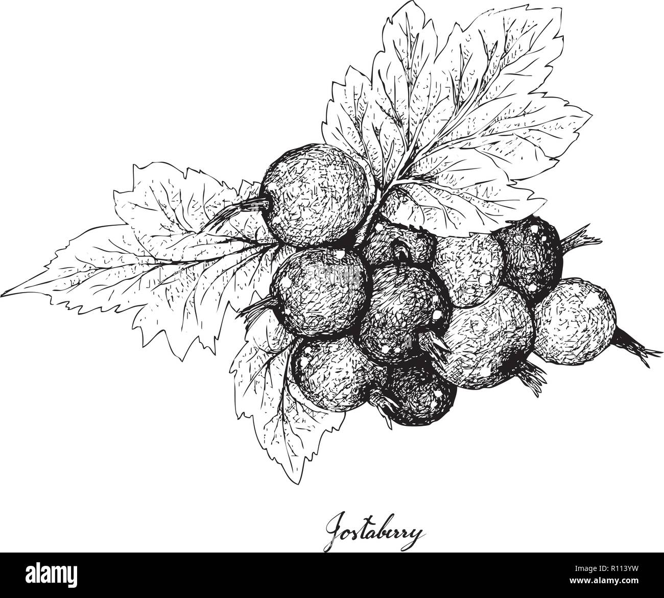 Berry Fruit, Illustration Hand Drawn Sketch of Jostaberries Isolated on White Background. High in Vitamin C and Minerals with Essential Nutrient for L - Stock Vector