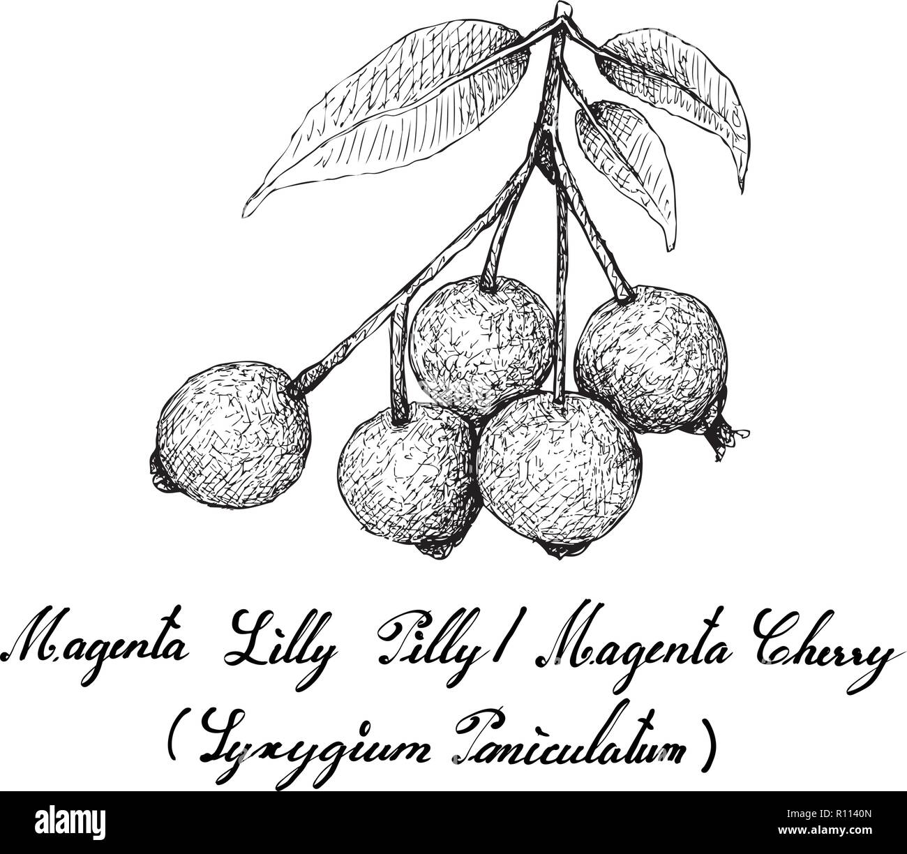 Berry Fruit, Illustration Hand Drawn Sketch of Magenta Lilly Pilly,  Magenta Cherry or Syzygium Paniculatum Fruits Isolated on White Background. - Stock Vector