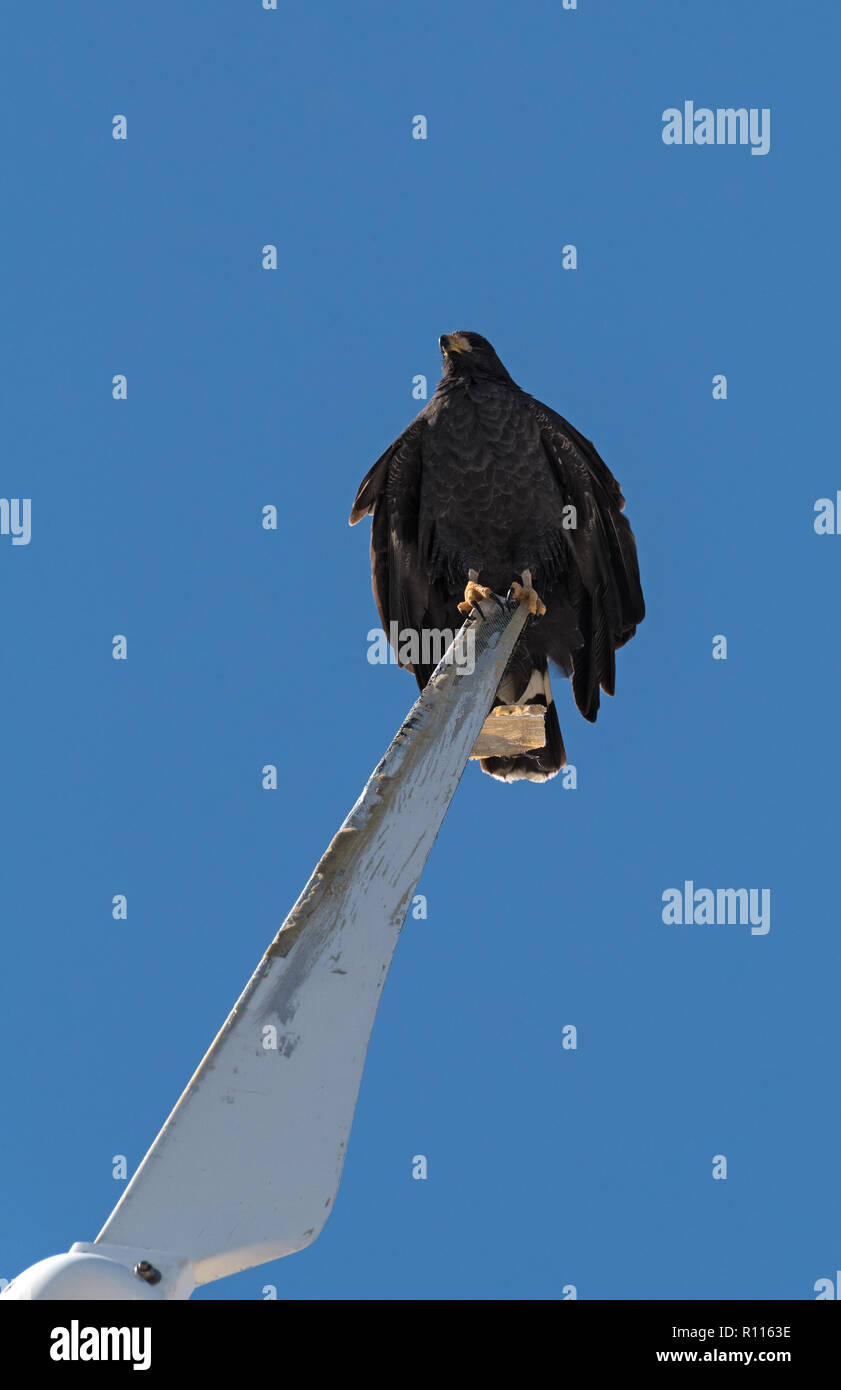 young black accipitriformes sits on a rotor blade of a windmill, yucatan, mexico. - Stock Image