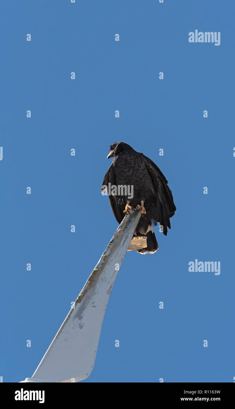 young black accipitriformes sits on a rotor blade of a windmill, yucatan, mexico. Stock Photo