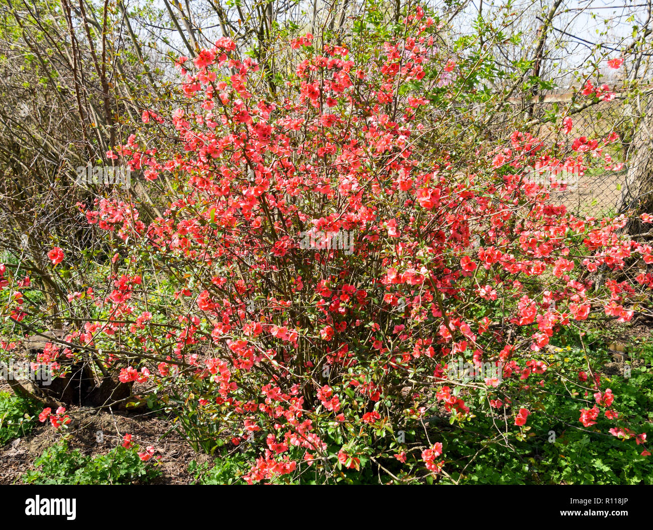 Bush With Pink Flowers Spring Flowering Shrubs Stock Photo