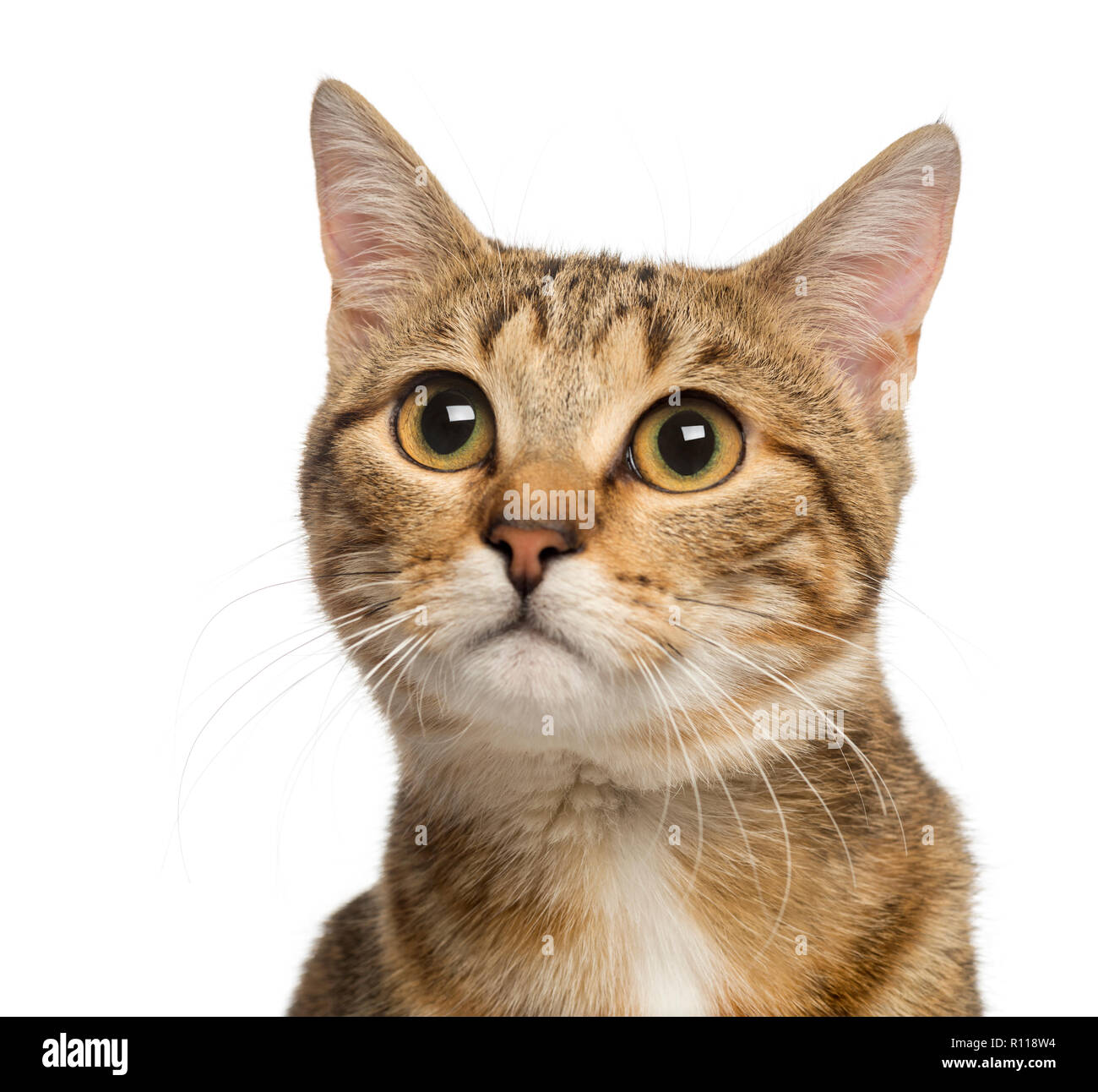 Close up of a Mixed-breed cat, 9 months old, isolated on white - Stock Image