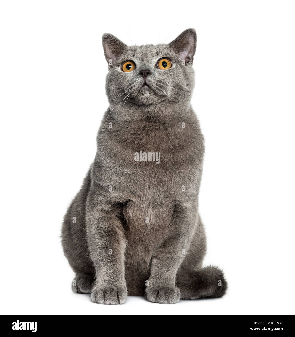 British Shorthair sitting (6 months old) - Stock Image