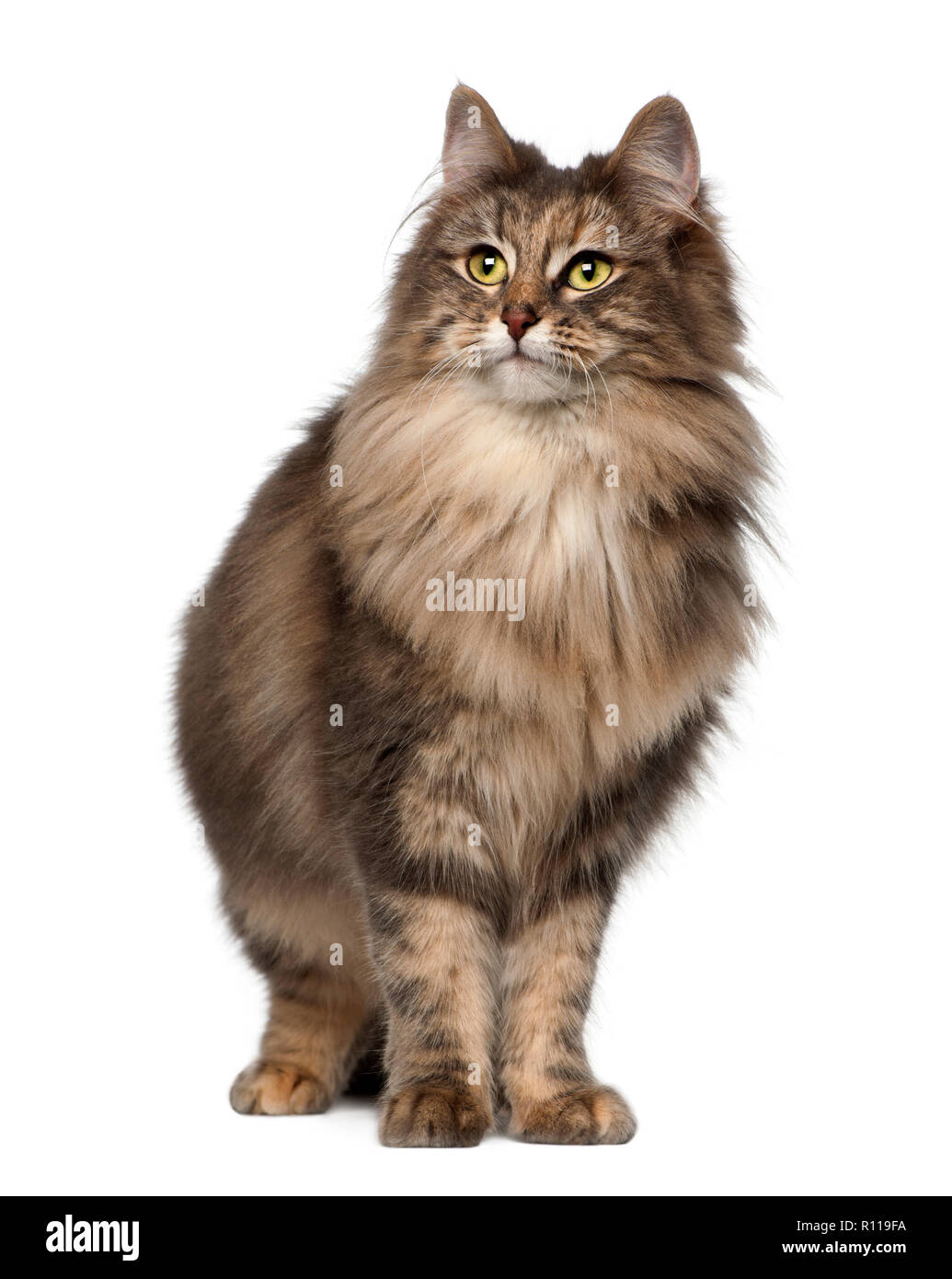 Norwegian Forest Cat, 1 and a half years old, standing against white background - Stock Image