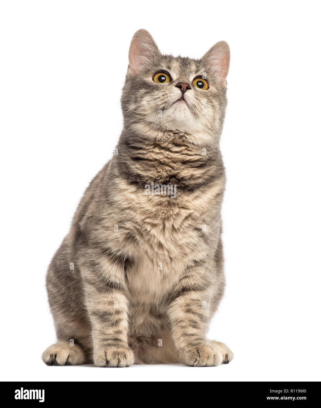 European Shorthair (6 months old) - Stock Image