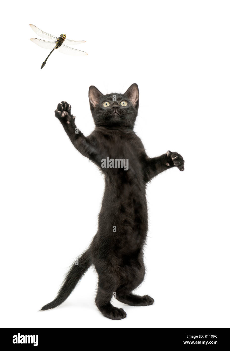 Black kitten standing on hind legs and trying to catch a dragonfly flying - Stock Image