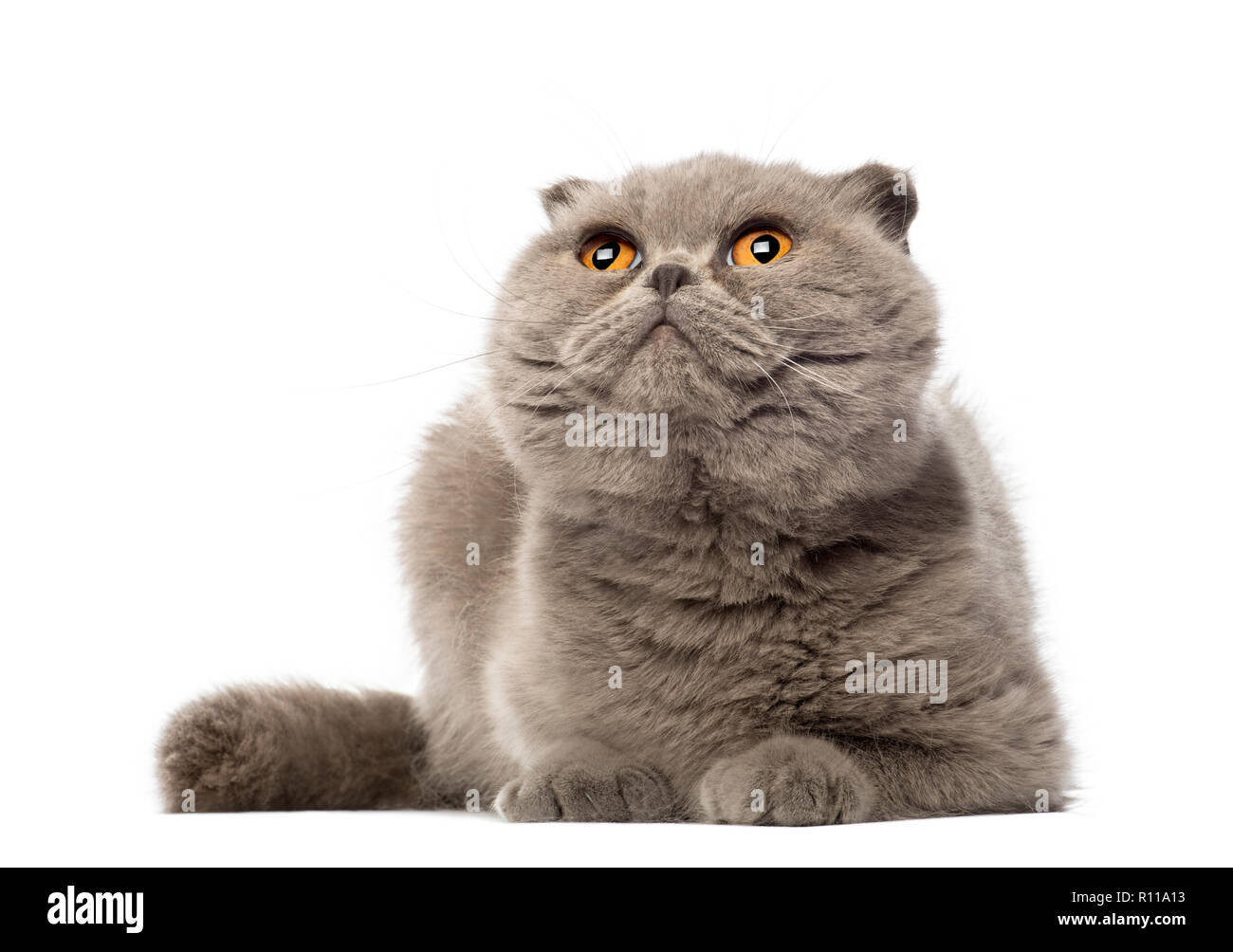 Scottish Fold lying and looking up, 3 years old, against white background - Stock Image