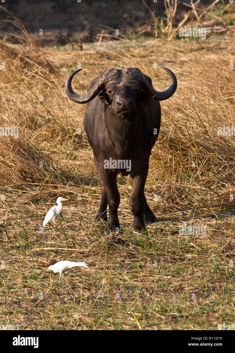 An old bull Cape Buffalo, one of the most respected of the Big Five for it's unpredicatability - Stock Image