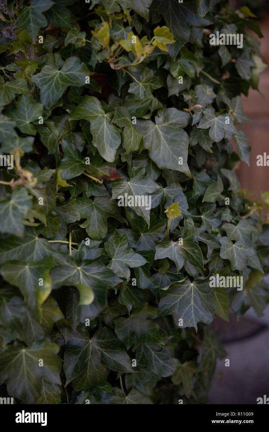 Ivy growing on a wall - Stock Image